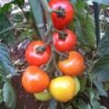 にこまるファーム、夏野菜収穫。