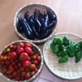 夏野菜 収穫真っ盛り!