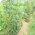 ファーム トマト